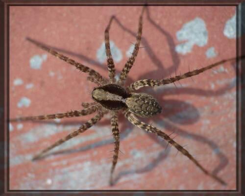Pardosa sp, l'araignée loup