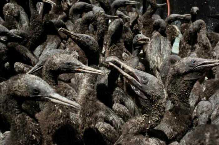 Abandonnés, affamés, des centaines de cormorans du Cap sauvés