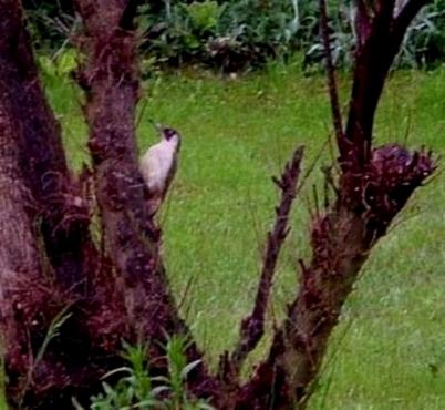 Isère :Le pivert s'est invité ce matin dans le jardin