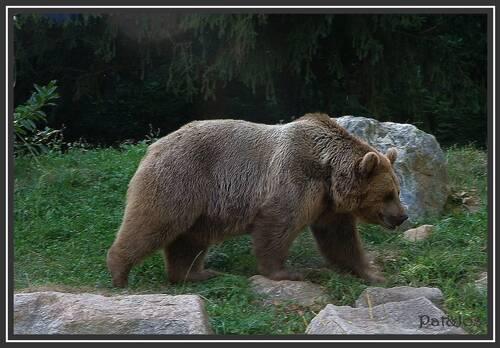 L'ours des Pyrénes