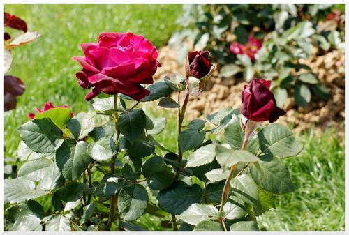 Les Roses. Parc Bagatelle.