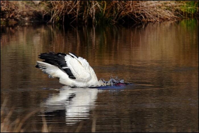 Parc De Marquenterre...  Royaume Des Oiseaux Sauvages...  Par Clio Bayle...