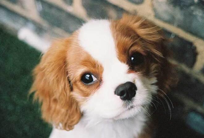 Races de chiens:  Cavalier King Charles