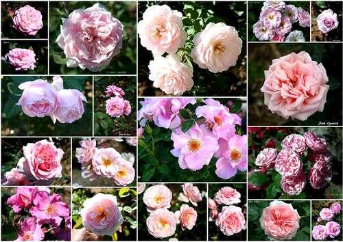 Les Roses de Warren : récapitulatif