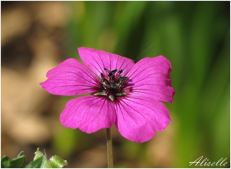 Géranium vivace rose