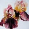 Paire d'iris bronze