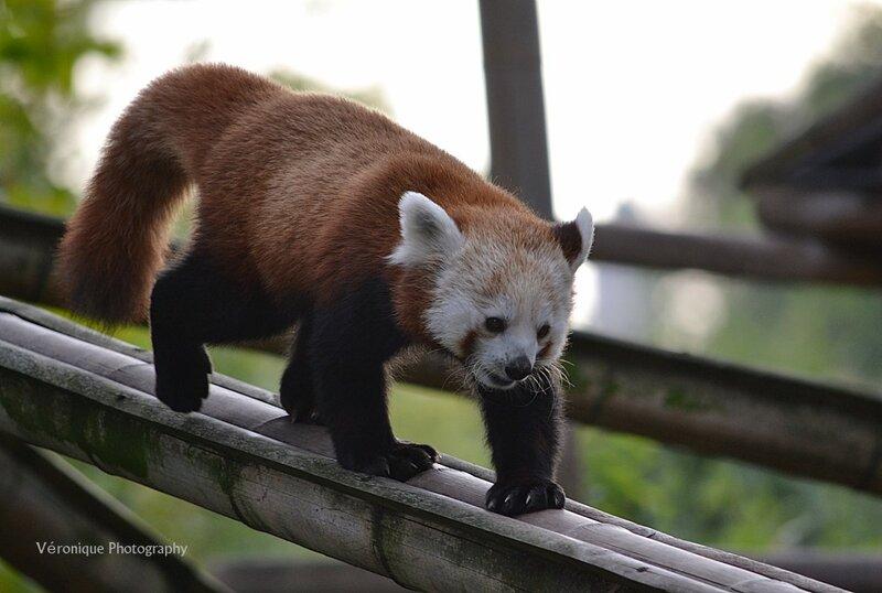 Maya, le panda roux de la Ménagerie