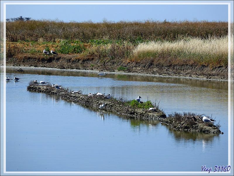 Marais et ses oiseaux - Ars-en-Ré - Île de Ré - 17
