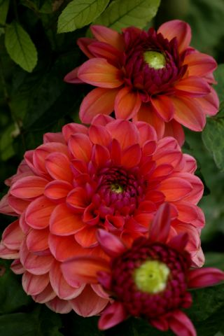 Dahlias : Daisy Duke