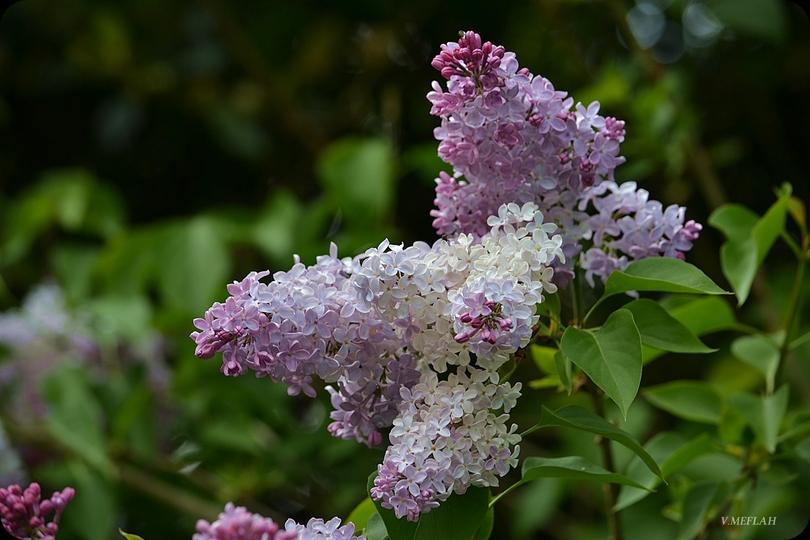 Parc du château de Rambouillet : Le lilas