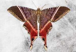 Urinidae