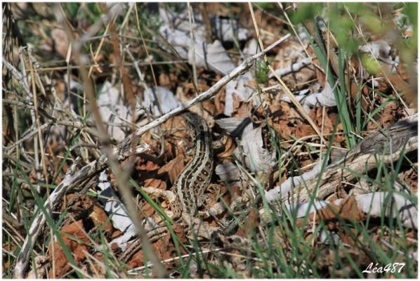 Reptiles-5534-lezard-agile.jpg