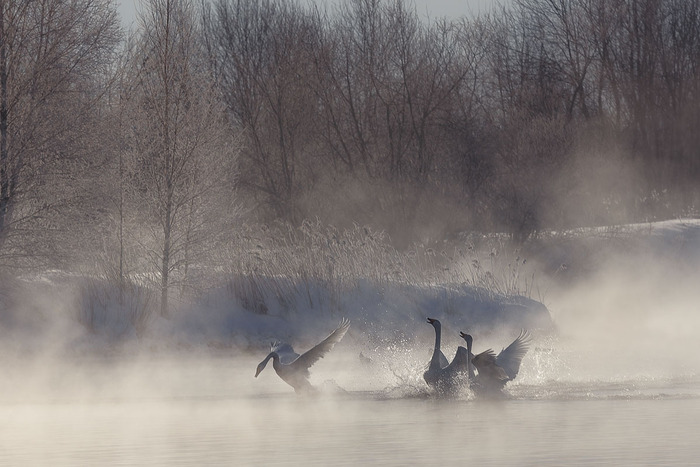 Cygnes dansants: Belles photographies de Dmitry Kupratsevich Par Sean Sheepskin 24.06.20150 2,110
