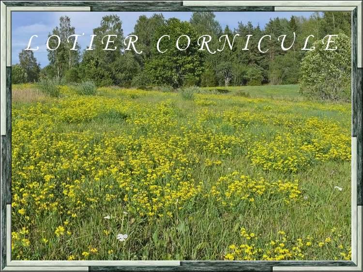 Vertus médicinales des plantes sauvages : Lotier
