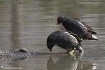 Accouplement de Gallinule poule d'eau
