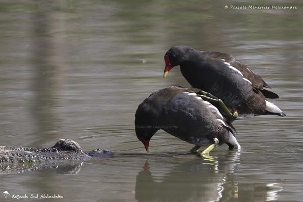 Accouplement de Gallinules poules-d'eau