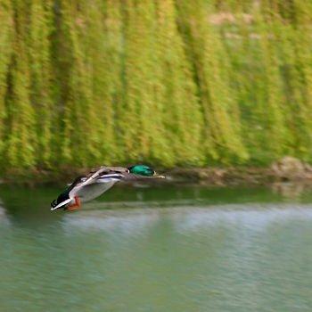 vol de canard en picardie