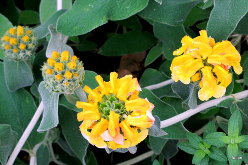 Une sauge en fleur