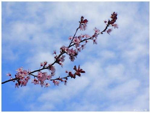 Le temps des Prunus