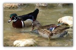 Canard Carolin - Parc des oiseaux