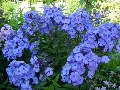 Phlox_paniculata_Blue_Paradise.jpg