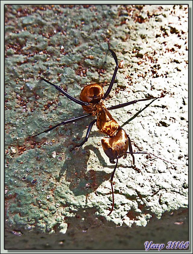 Blog de images-du-pays-des-ours : Images du Pays des Ours (et d'ailleurs ...), Fourmi Charpentière Dorée, Golden Carpenter Ant (Camponotus sericeiventris) - Costa Rica