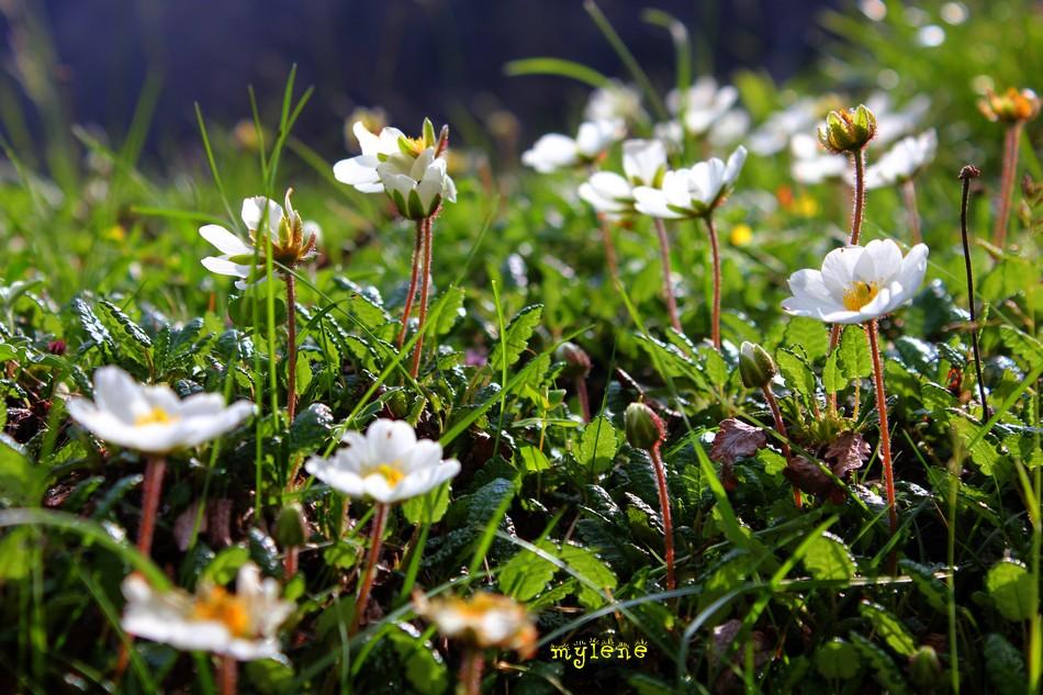 prairie fleurie de dryade
