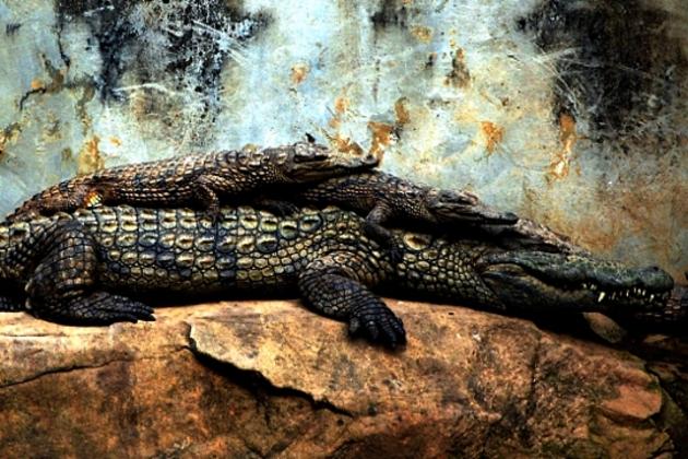 Trois crocodiles