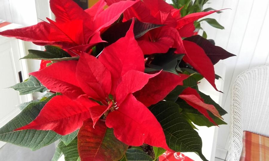 poinsettias  fleurs de Noel ??