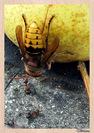 Le frelon européen (Vespa crabro) Hyménoptère - Vespidae