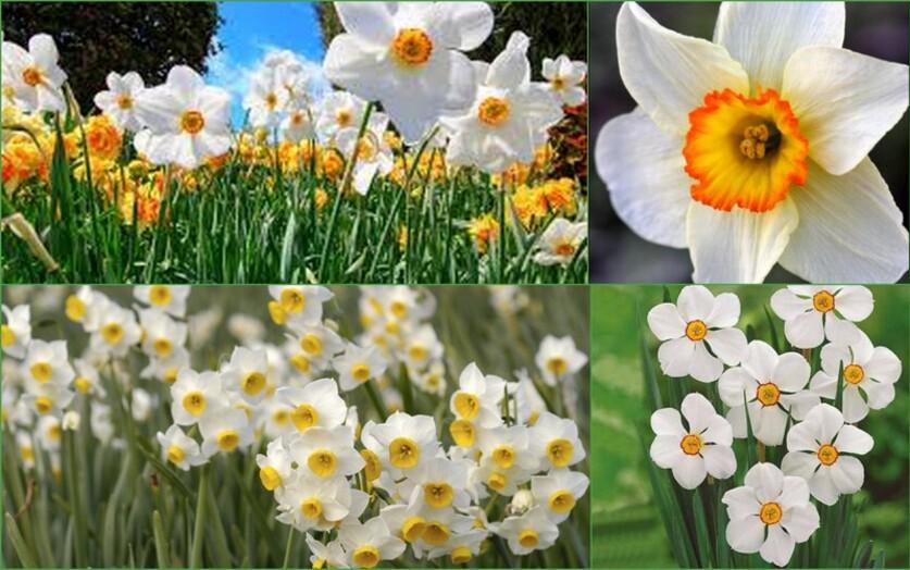 Fleur de printemps:le narcisse