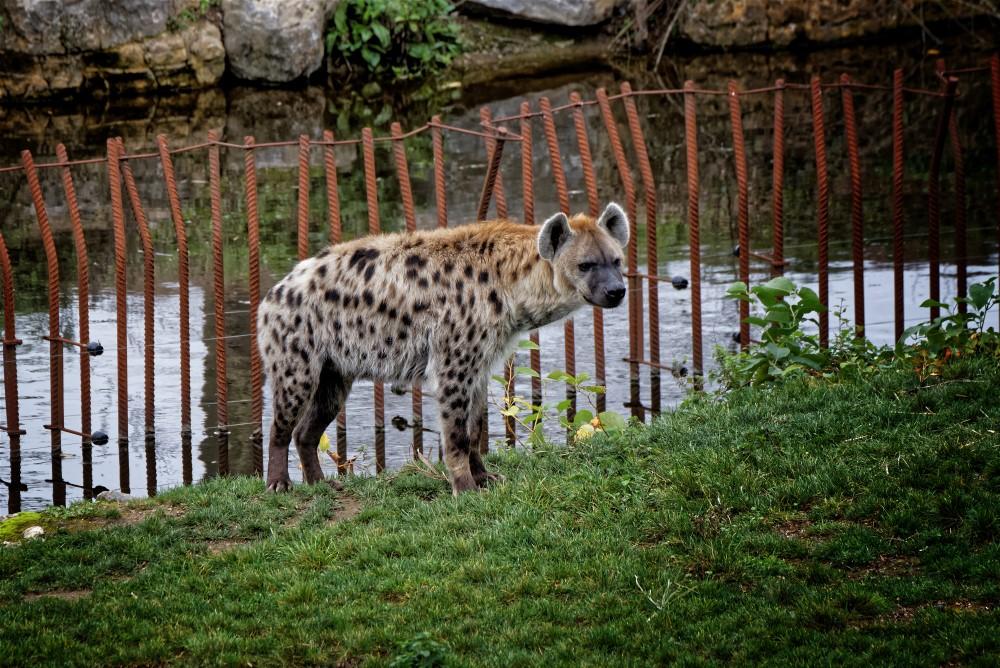 Les hyènes de Pairi Daiza