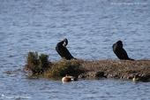 Canard souchet et Grand cormoran