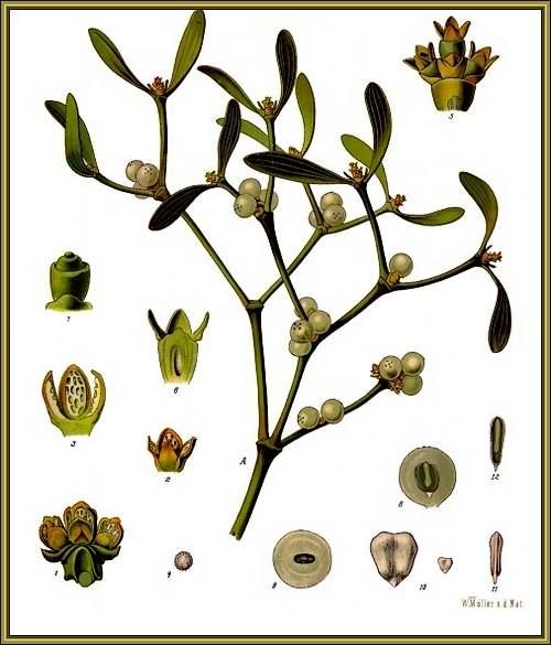 Vertus médicinales des plantes sauvages : Gui