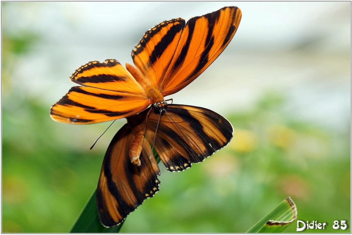 Tigre Orange (1) - Dryadula phaetusa