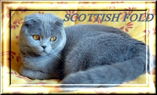 gd scottish fold 4-copie-1