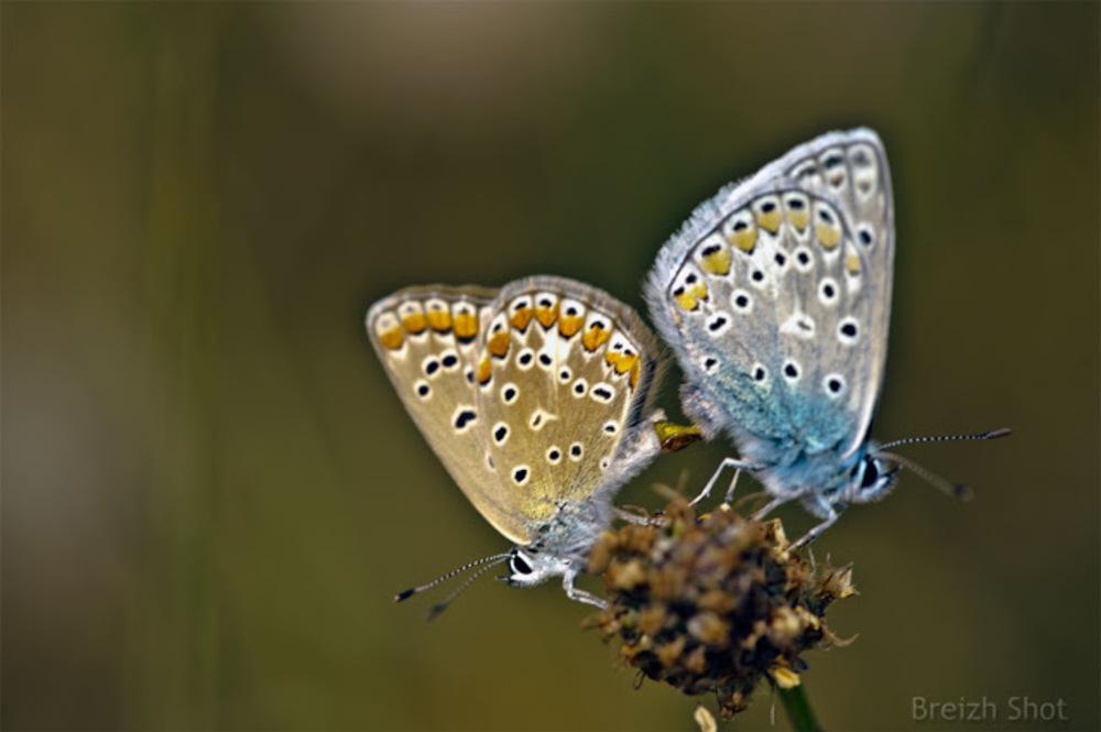 accouplement de papillons Argus bleu nacré