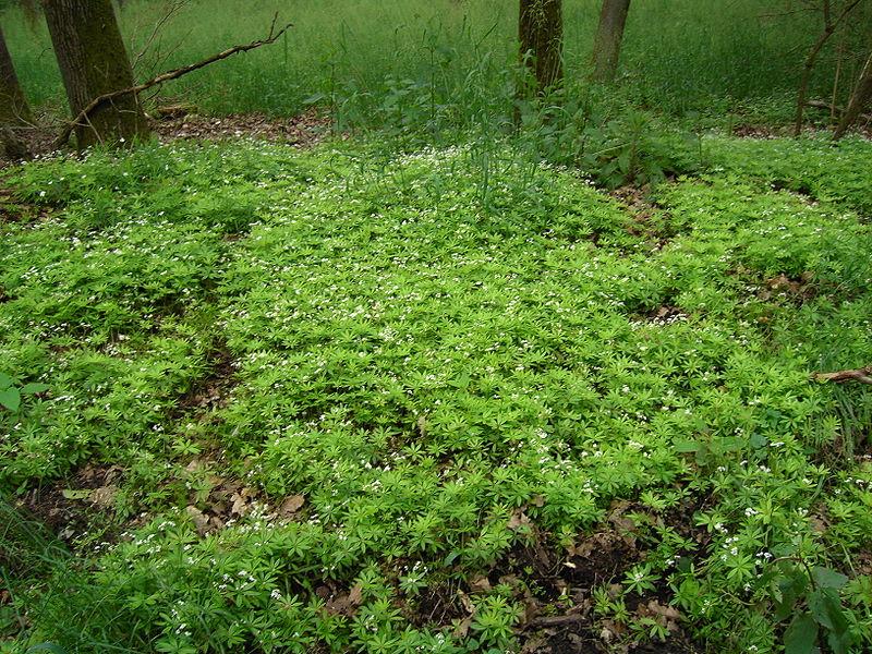 Galium odoratum formant un tapis en sous-bois