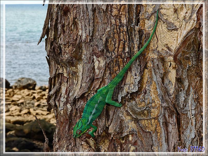 """Fin de la traversée """"avec filet"""" du caméléon - Nosy Be - Madagascar"""