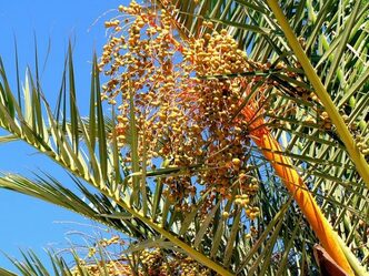 date palm 1057927_640 - Consommer Mariage Islam