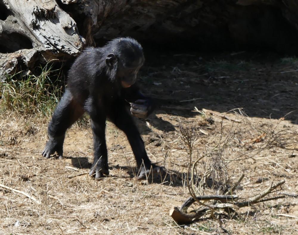 Les bonobos de la Vallée des Singes à Romagne...