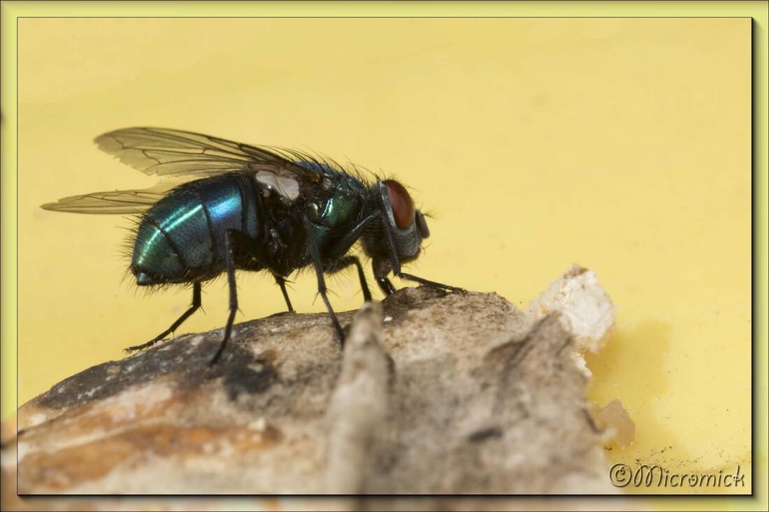 Lucilia caesar, la mouche dorée