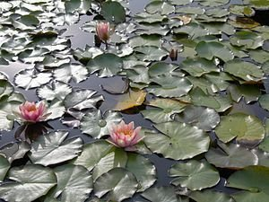 300px-Pink_water_lily2.jpg
