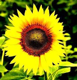 Le Topinambour aux plantes aromatiques