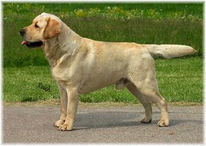 Harnais-pour-chien-Labrador