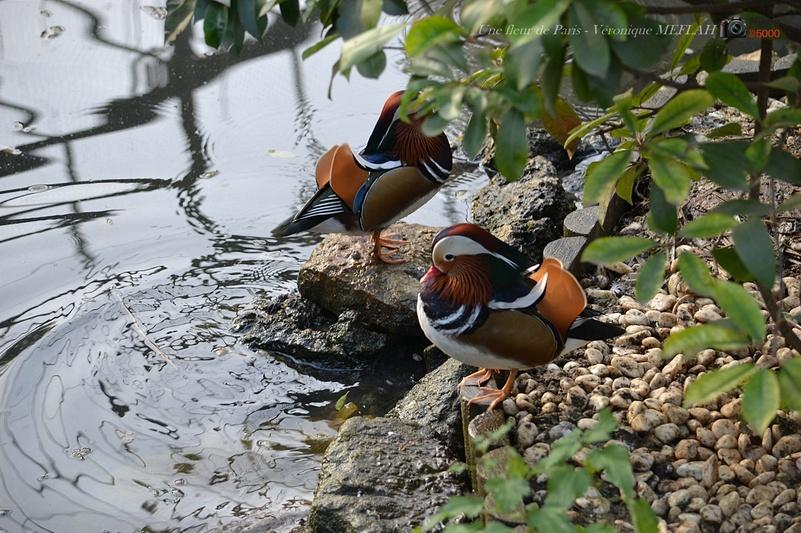 Ménagerie du Jardin des Plantes : La Grande Volière : Le canard Mandarin