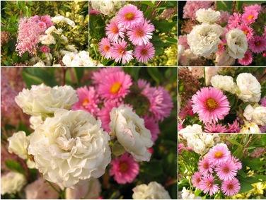 "Roses du jardin Chêneland: Aster novae-angliae ""Harrington ..."