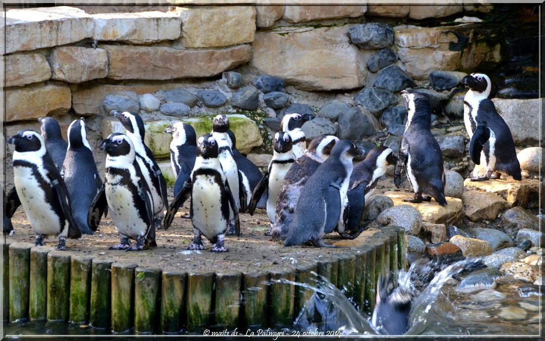 Manchot du Cap - Zoo de la Palmyre - Charente-Maritime (3)
