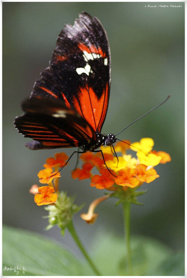 Aglaope Postman - Heliconius melpomene aglaope - Nymphalidae