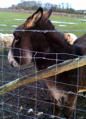 Âne Domestique ou Equus Asinus